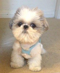 What A Beauty Shih Tzu Puppy Shih Tzu Puppies