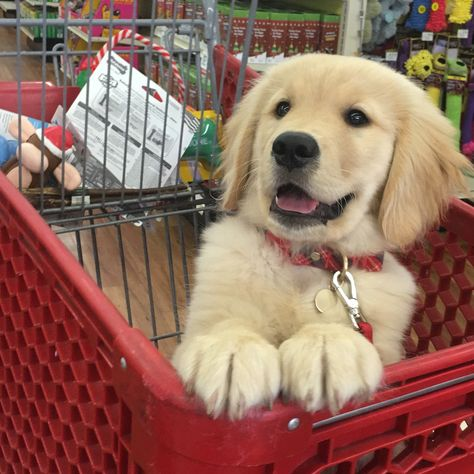 Captain Cute Little Puppy In A Shopping Cart Golden