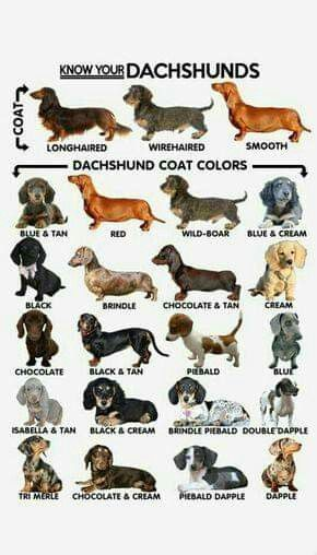 A Might Be A Tri Colored Piebald Dachshund Breed Dapple