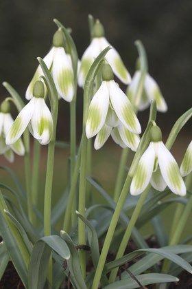 Avon Bulbs Snowdrops Planting Bulbs Spring Plants Bulb Flowers