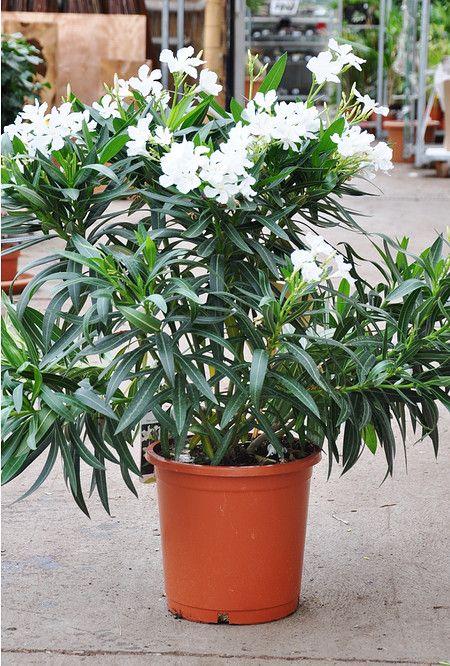 Oleander Weiss Pflanzen Kubelpflanzen Topfgarten