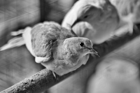 129- Walked down to the farm supply store to look at the chickens and bunnies. The soft light on the doves caught my eye :)