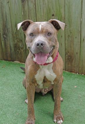 Adopt D O G On Pet Adoption Pitbull Terrier Animals