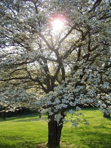 All About The Flowering Dogwood Dogwood Trees Hillside Landscaping Tree