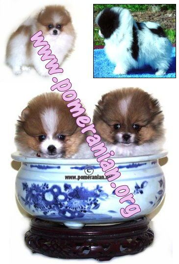 Pomeranian Parti Color Puppies With