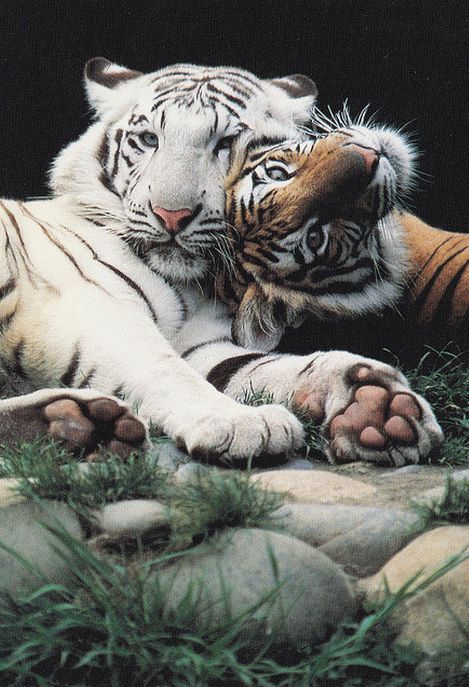 Wildlife photography tigers