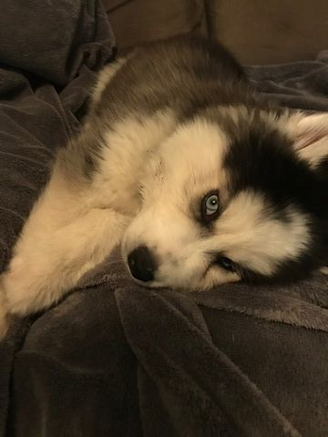 Siberian Husky Puppy For Sale In Jacksonville Fl Adn 60691 On