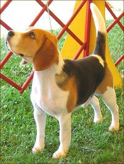 Beagle Hound Do Beagle Hound Dog Dogs Hound Dog Breeds