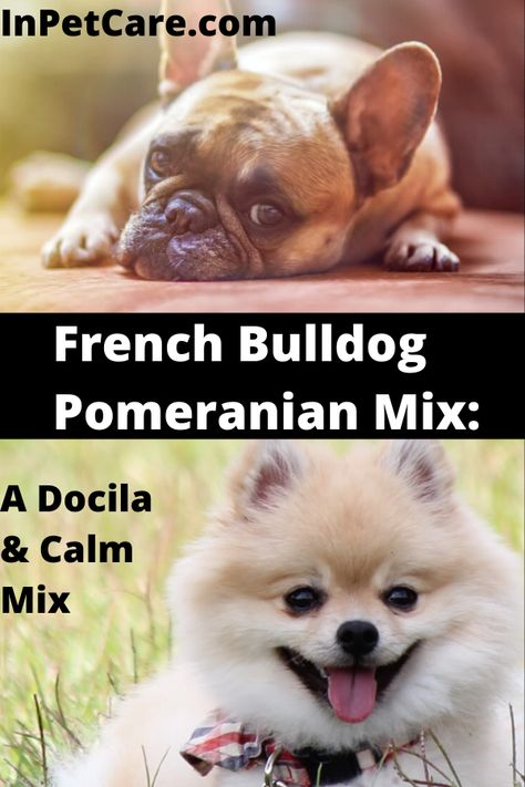 French Bulldog Pomeranian Mix A Complete Guide Pictures