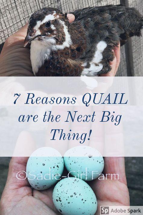 Get Started Raising Quail - Sadie-Girl Farm Chicken Garden, Backyard Chicken Coops, Backyard Farming, Chickens Backyard, Backyard Birds, Quail Pen, Quail Coop, Quail Eggs, Raising Quail