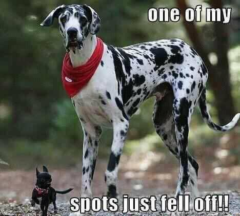Here's dog memes! Funny dog memes that every dog owner will understand. Meet some very good Funny Dog Photos, Funny Animal Pictures, Animal Pics, Cute Funny Animals, Funny Cute, Great Dane Funny, Le Plus Grand Chien, Tierischer Humor, Love My Dog