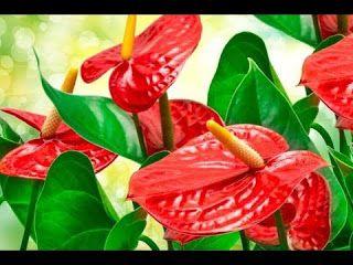 Anthurium Sri Lanka Red Plants Anthurium Annual Plants
