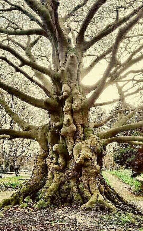 Giant Tree, Big Tree, Weird Trees, Magical Tree, Image Nature, Tree Faces, Unique Trees, Old Trees, Tree Trunks