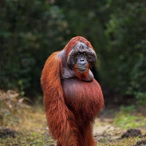 "Indoflashlight on Instagram: ""Tes Mandiri Berikut fakta"" mengenai Orangutan yang benar adalah: A. -DNA Orangutan 98% menyerupai manusia. -Orangutan hanya memakan…"""