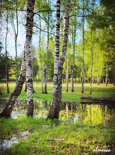 Birch Trees In Spring White Birch Trees Landscape Trees Tree Art
