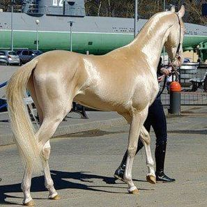 The Akhal-Teke is a horse breed from Turkmenistan. Only about 3,500 are left worldwide. Known for their speed and famous for the natural metallic shimmer of their coats.~. THE COLOR IS AMAZING!!  WOW!!!!!!