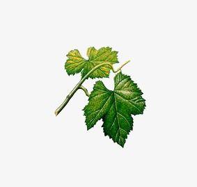 ورق عنب Plant Leaves Plants Grape Leaves