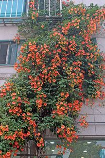Campsis radicans  80-100 cm Klettertrompete orange