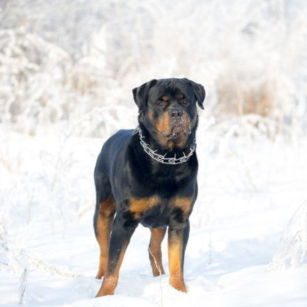 Within Hours Stop Barking Growling Pulling On The Leash And Constant Jumping Up Rottweiler Rottweiler With Images Rottweiler Rottweiler Puppies Dog Training