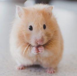 250 Hamster Names For Male Female Hamsters Cute Hamsters