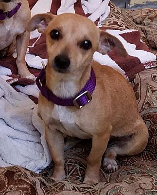 Pictures Of Papaya A Chihuahua For Adoption In Fort Myers Fl Who