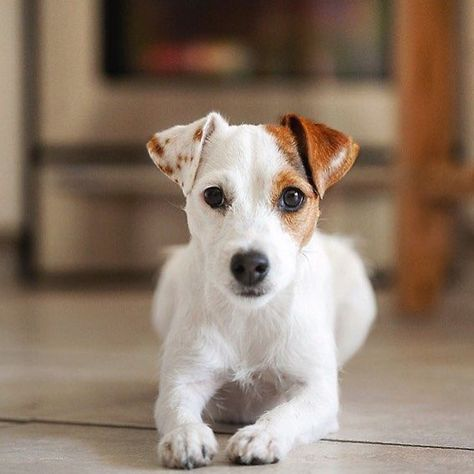 Jack Russell Terrier Jack Russell Terrier Puppies Jack Russell