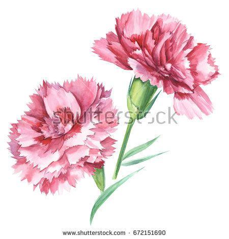 Red Carnations Watercolor Hand Drawing Flower Drawing