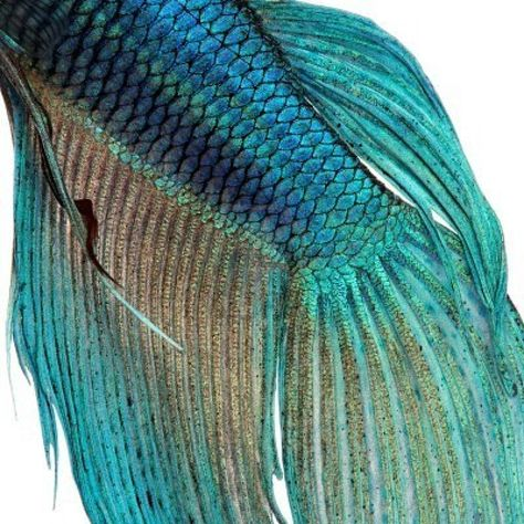 Close-up on a fish skin - blue Siamese fighting fish - Betta Splendens | Underwater Love