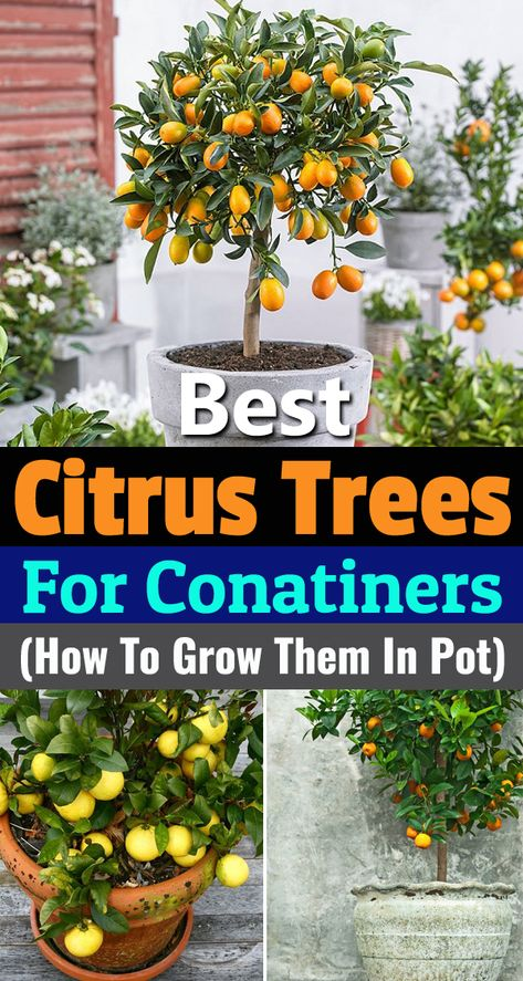 Learn about 5 best citrus trees for containers as Growing Citrus in Pots is not difficult due to their small height and low maintenance!