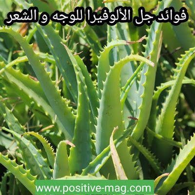 مجلة الإيجابية صحة تغذية كوسمتيك تحفيز فوائد جل الألوفيرا للوجه والشعر Aloe Vera Gel Face Aloe Vera Gel Face Hair