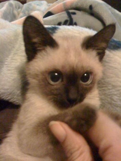 Cost Of Balinese Cat About Animals Balinese Cat Cute Baby