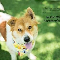 Pictures Of Glen Coco A Collie For Adoption In Kansas City Mo Who