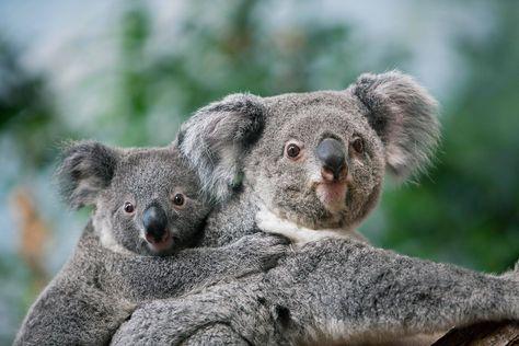 Koala Et Son Bebe Gerard Lacz Pour Le Zooparc De Beauval