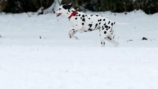 In Pictures Snowy Scenes Across The Uk Pictures Dalmatian Dogs