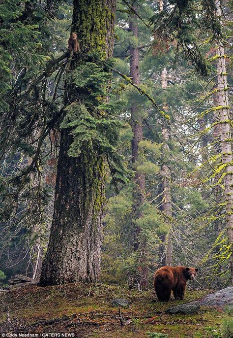 Gdzie poszedłeś?  Matka niedźwiedź wygląda zdziwiony po jej cub znika z ogromnym pniu drzewa w Sequoia National Park w Kalifornii