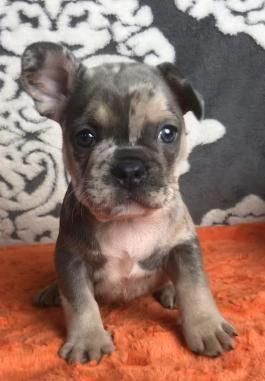 French Bulldog Puppies For Sale Lancaster Puppies Bulldogs French Bulldog Puppies Bulldog Puppies For Sale Bulldog Puppies