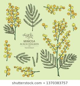 Collection Of Mimosa Mimosa Flowering Branch And Leaves Acacia Dealbata Cosmetic Perfumery And Medical Plant Vect Mimosa Flower Flower Illustration Mimosa