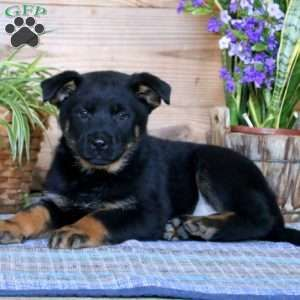 Becky German Shepherd Mix Puppy For Sale In Pennsylvania
