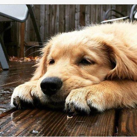 Home Dogs Golden Retriever Retriever Puppy Dog Breeds