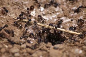 Hausmittel Gegen Ameisen Was Hilft Wirklich Ameisen Ameisen Im Garten Pflanzenschutz