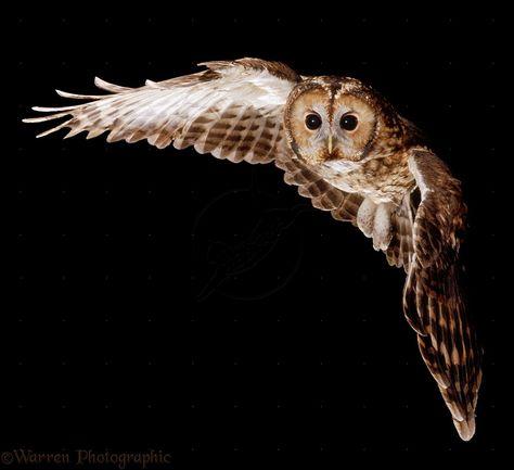 Tawny Owl in flight   Tawny Owl in flight photo - WP16265