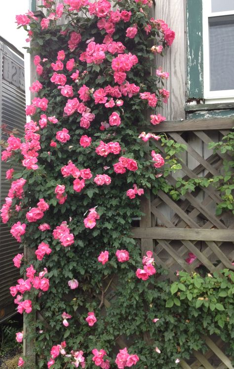 Thinking of putting these by the patio or the fence.  Climbing Knock Out Roses