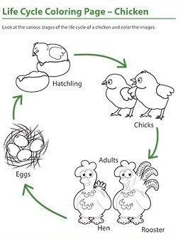 Life Cycle Bird Coloring Page Life Cycles Animal Life Cycles