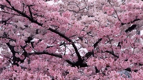 Cherry Blossoms Trees Flowers Landscape Nature High Definition City Resolution 1366x768 Pixel Id 14234 Blossom Trees Cherry Blossom Tree Flower Landscape