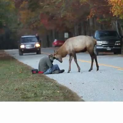 This Photographer survived this terrifying elk encounter