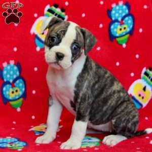 American Bulldog Puppies For Sale Greenfield Puppies American Bulldog Puppies American Bulldog Bulldog Puppies For Sale