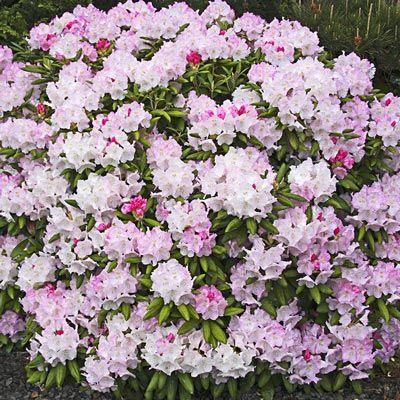 Percy Wiseman Rhododendron Spring Hill Nurseries Garden Shrubs