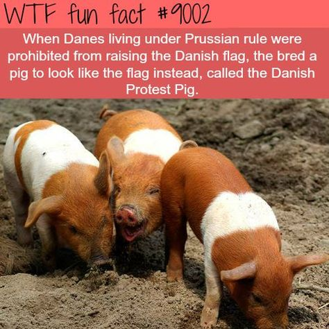 danish protest pig wtf fun facts