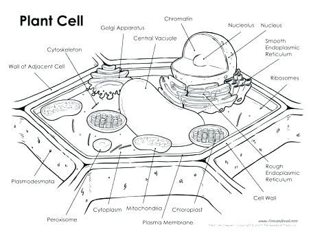 Unlabeled Animal Cell Worksheets Cell Diagram Plant Cell Labeled Plant Cell Drawing