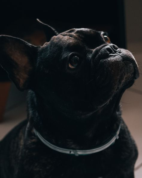 🐶 𝐆𝐞𝐭 𝐭𝐡𝐞 𝐂𝐮𝐭𝐞𝐬𝐭 𝐅𝐫𝐞𝐧𝐜𝐡 𝐁𝐮𝐥𝐥𝐝𝐨𝐠 𝐁𝐫𝐨𝐨𝐜𝐡 𝐢𝐧 𝐋𝐞𝐩𝐞𝐭𝐨! 🎁#frenchbulldog  #ブルドッグ #프랑스불독 #французскийбульдог #frenchbulldogstyle #frenchbulldogx #frenchbulldogmoments #frenchbulldogfeature #frenchbulldogsrule#photography #photo #vscocam #vsco #photooftheday #picoftheday #instadaily #bestoftheday #instapic #cutedogs #可愛い #adorable  #pupdoggydog #puppypower #ilovedog #ilovedogs #doglovers
